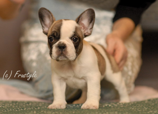 french bulldogs needing homes  Dogs and Puppies Rehome